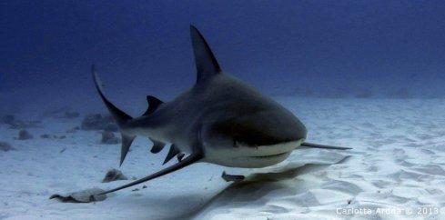 Bull-shark-infront-of-diver-1024x507